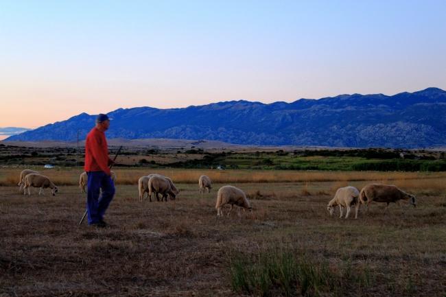 Local shepherd watches his flock.