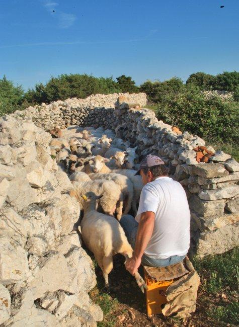 Traditional hand milking of Paška ovca